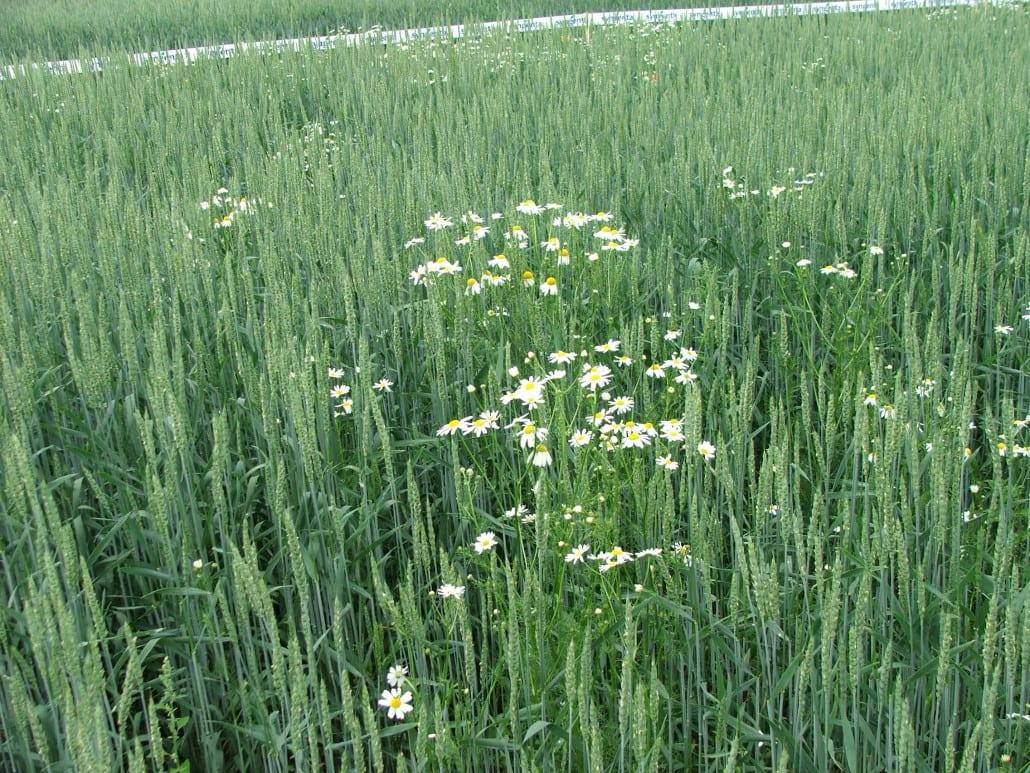 Czym pryskać pszenżyto ozime wiosną