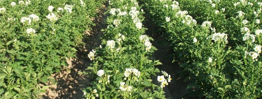 Odchwaszczanie ziemniaków, usuwanie chwastów w ziemniakach