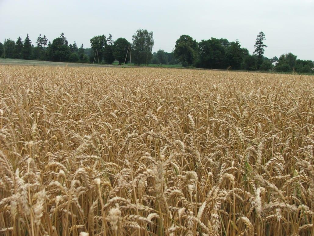 Groovy Dobór zapraw nasiennych dla zbóż ozimych - Nasza Rola TL76