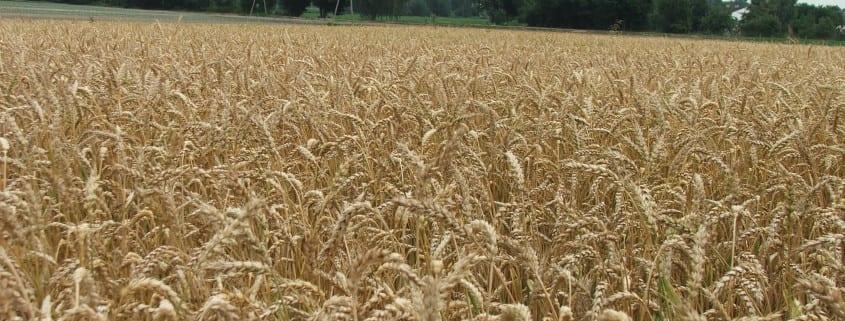 W Mega Dobór zapraw nasiennych dla zbóż ozimych - Nasza Rola QU16