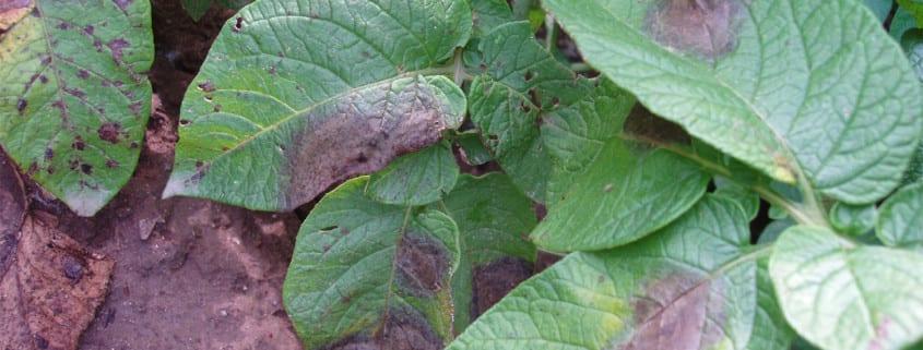 Zaraza i alternarioza ziemniaka, choroby ziemniaka zwalczanie