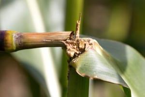 Osłabione w wyniku żerowania gąsienic omacnicy rośliny często się łamią