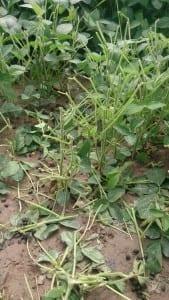 fot. 2-uszkodzone rosliny soi wraz z pozostawionymi przez zajaca odchodami