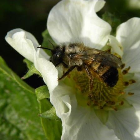 Murarka ogrodowa, owad zapylający