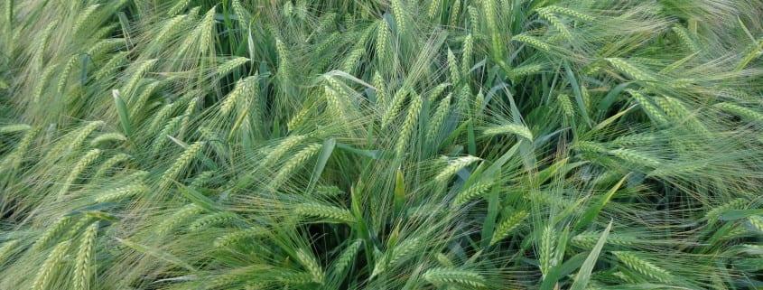 Najlepiej plonujące odmiany zbóż ozimych w Polsce