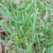 zabiegi herbicydowe w zbożach przed zimą