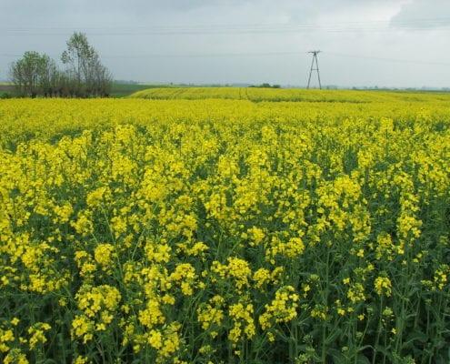 Wiosenne nawożenie rzepaku azotem musi być przemyślane