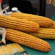 kukurydza ze Smolic