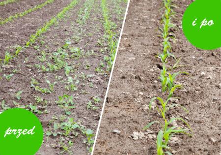odchwaszczanie kukurydzy