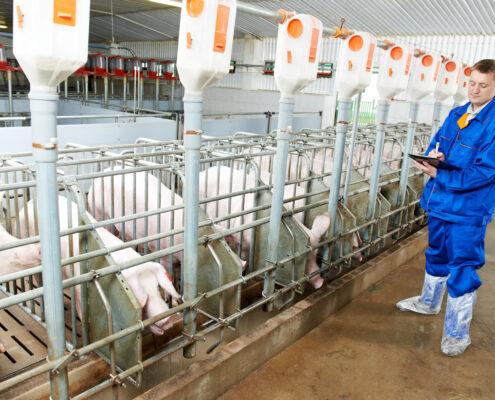 Karmniki dla świń